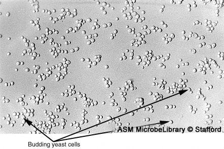 Saccharomyces labeled