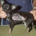 What Can You Do About Ringworm In Dogs small dog with RW