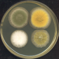 There Are Lots of Home Remedies for Yeast Infections cultures in a dish